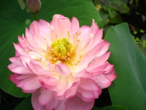 N. Elegant Woman' Lotus