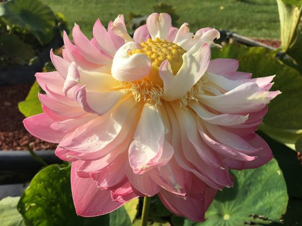 Handsome Hero Lotus