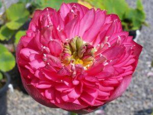 Zhongshan Hongtai Lotus