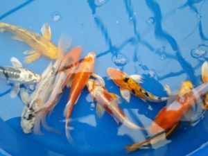 Select Butterfly Koi 6 - 8