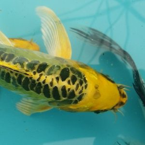 Premium Butterfly Koi and more