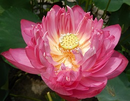Mother's Day Sale on Select Lotus Tubers