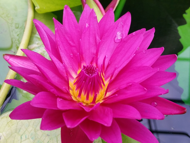 Nymphaea bull s eye bergen water gardens lotus paradise for Lotus plant for sale