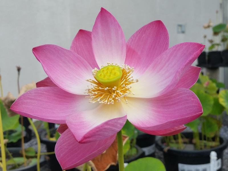 Lotus flowers at peak august 2015 bergen water gardens lotus 18 little red missing lotus mightylinksfo
