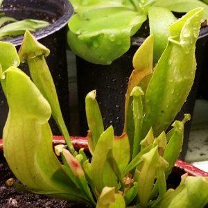 Sarracenia Carolina Yellow Jacket