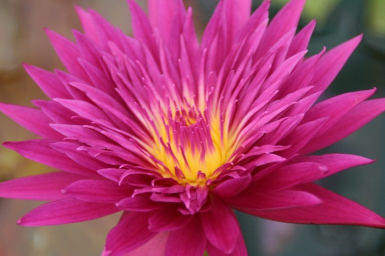 Tropic Punch Tropical Waterlily