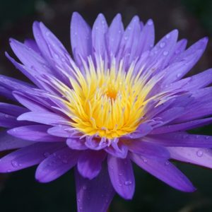 N. Ultraviolet waterlily
