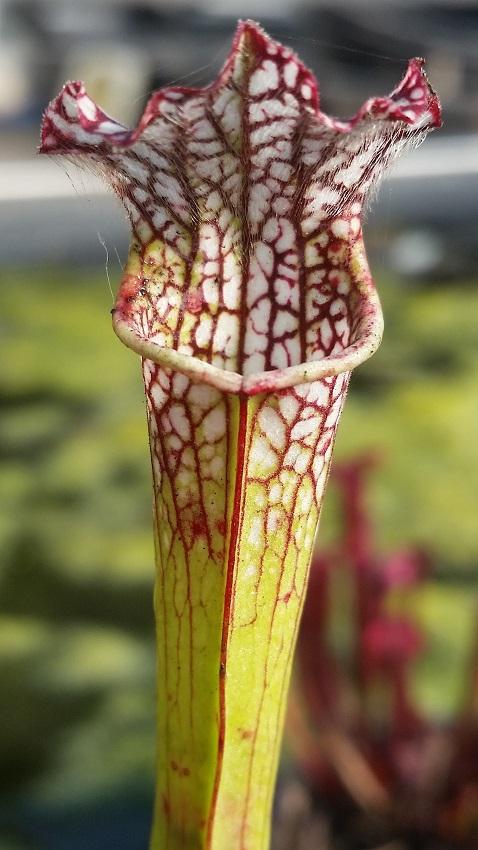 Sarracenia leucophylla Tarnok
