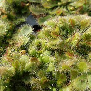 Spoon-leaf Sundew Drosera spatulata