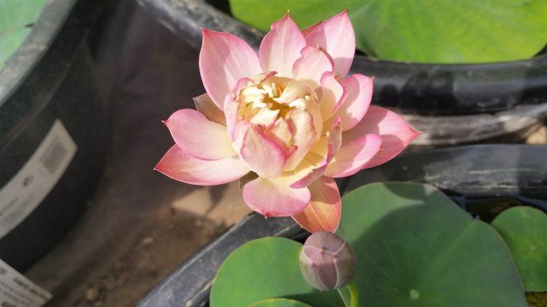 Little Spirit lotus
