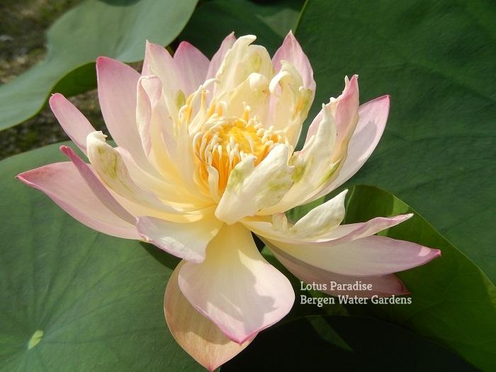 Dwarf Red Lovesick Bean Lotus