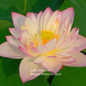 Peach flower Fan Lotus
