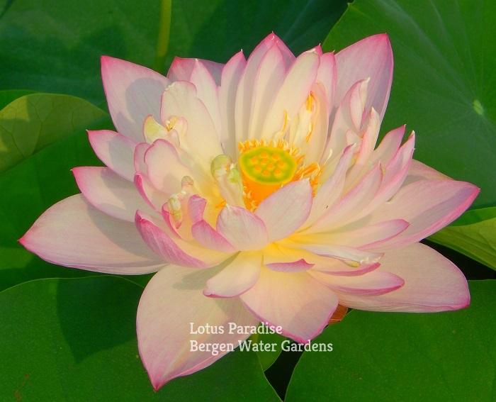 Peach flower Fan Lotus