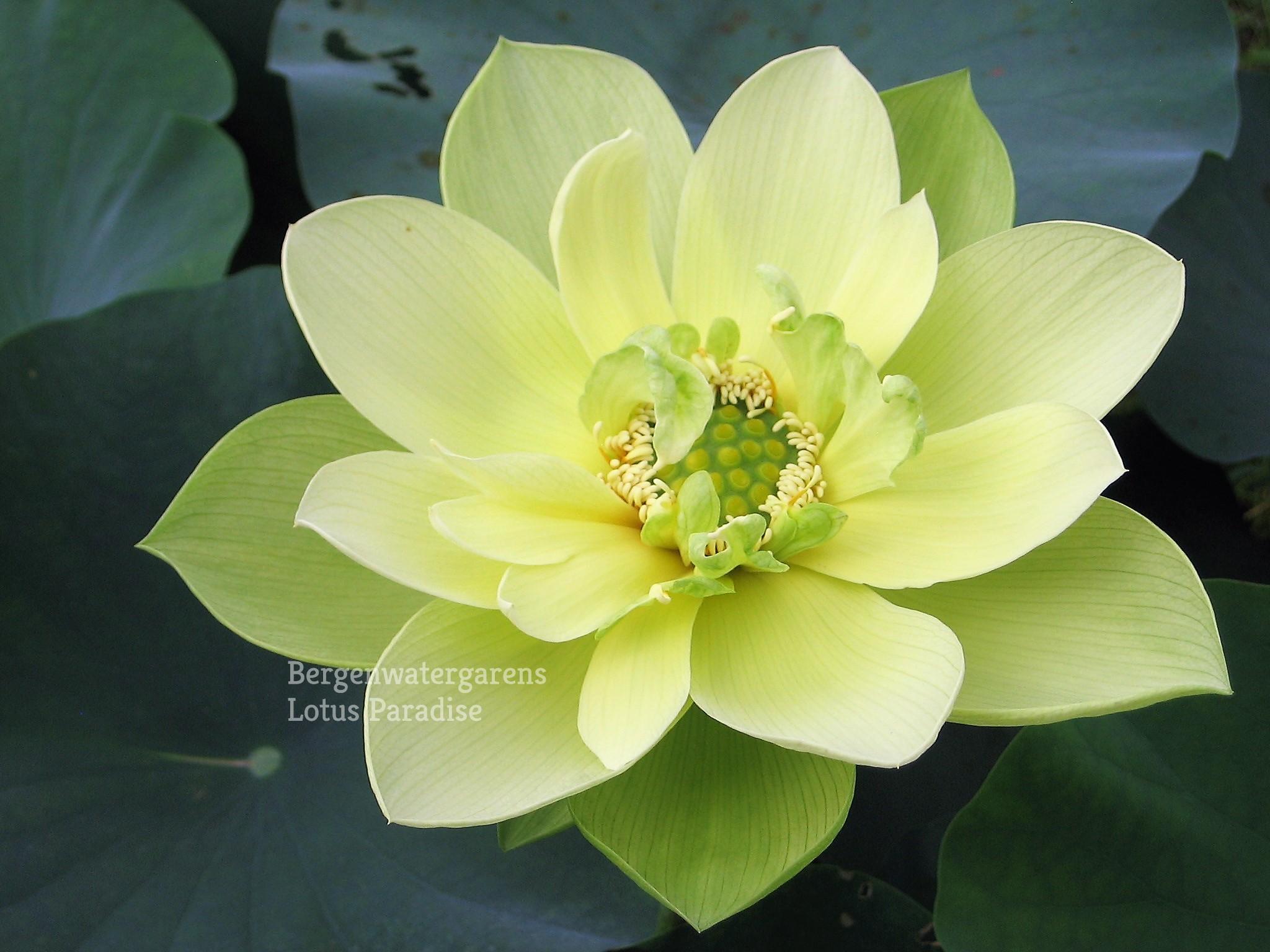 Jade In Jinling Lotus Bergen Water Gardens Lotus Paradise