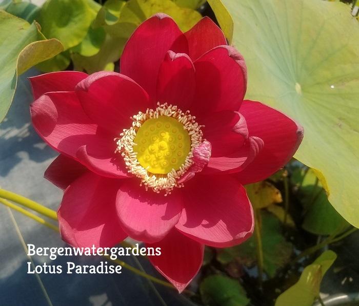 Chinese Red Beijing Lotus