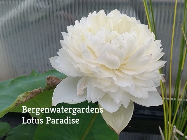 Cool Beauty Lotus