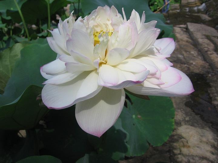 Drunken dancing Lotus