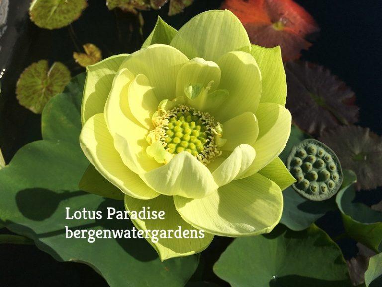 Jade in Jinling Lotus