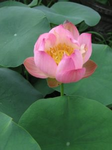Little Spirits lotus