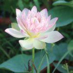 Master Lotus