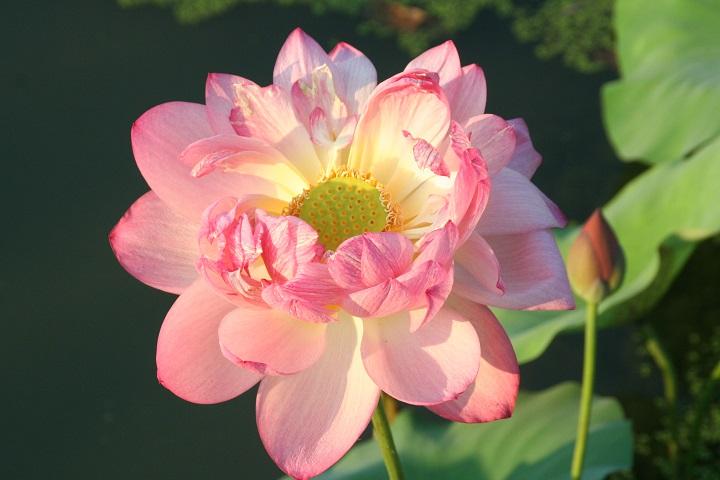 Super Excellent 13 Lotus