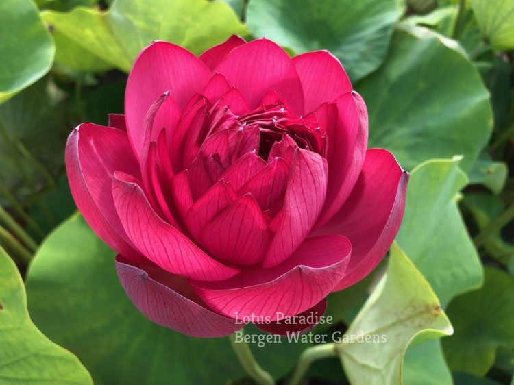 Chinese Red Jingangshan Lotus