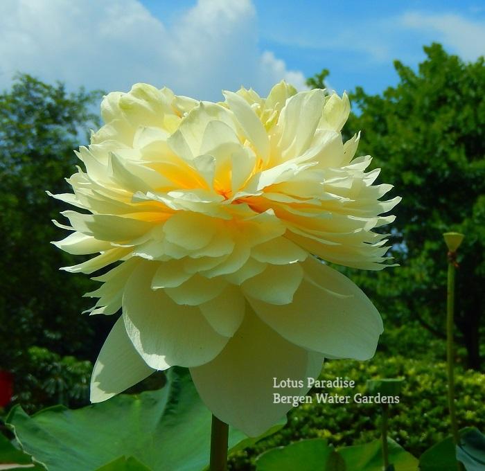 Gold Apple Lotus