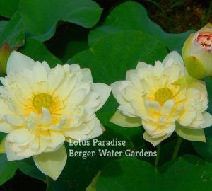 Junyu Lotus