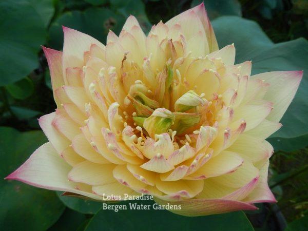 Brilliant Sunset Lotus