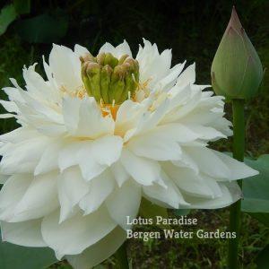White Chrysanthemum Lotus