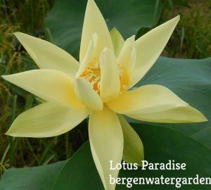 Apricot's Yellow Lotus