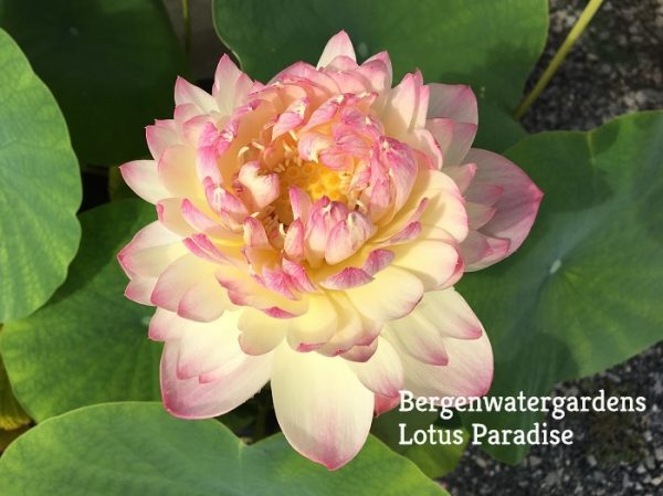 Charming Lips Lotus