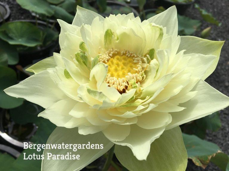 Dancing Sword Lotus