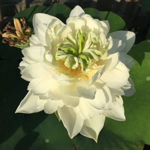 Zhufeng Cui Ying Lotus