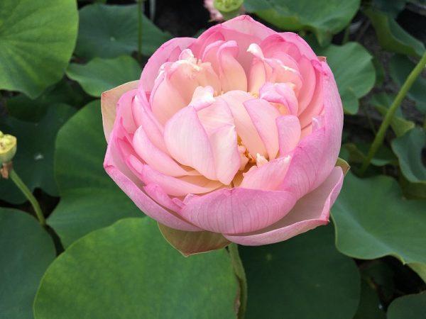 Joyful Smiling lotus