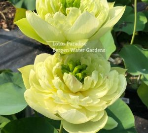 Gold Apple Lotus