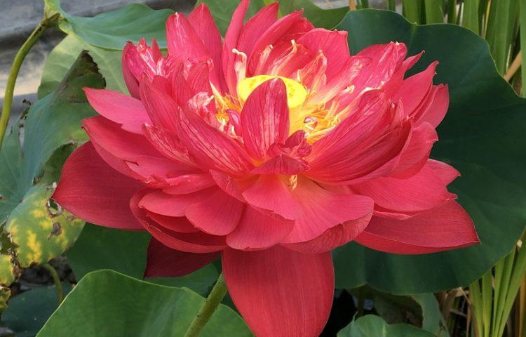 Red Bowl 14 Lotus
