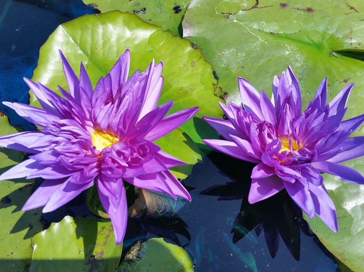 Nymphaea king of siam bergen water gardens lotus paradise for Lotus plant for sale