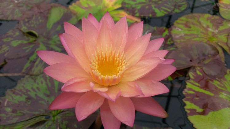 Nymphaea tropic sunset bergen water gardens lotus paradise for Lotus plant for sale