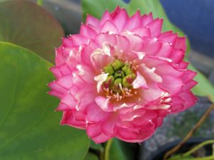 Red Peony Lotus