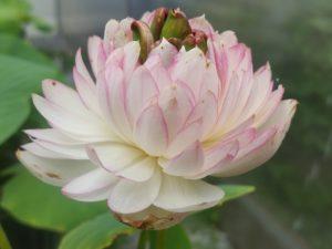 Stunning Lotus