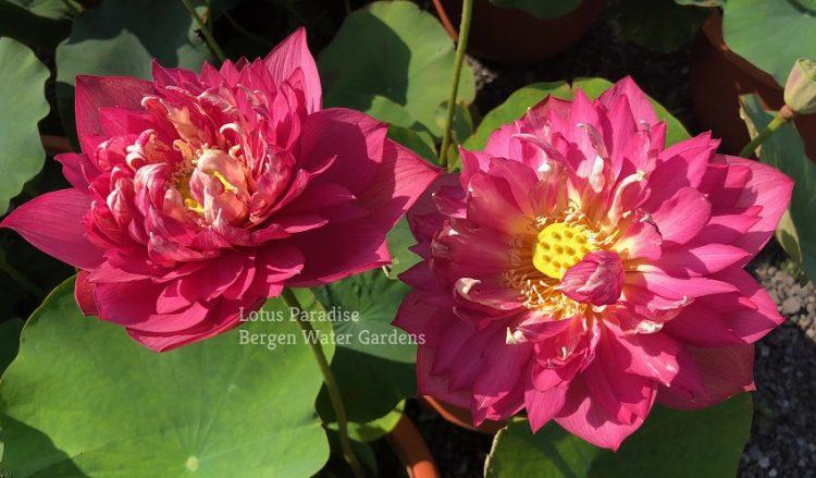 Chinese Red Ruijin Lotus