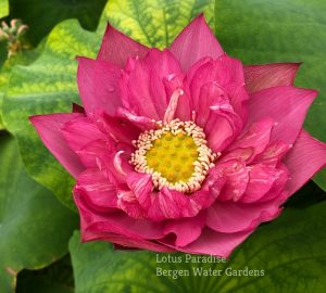 Chinese Red Ruijin Lotus