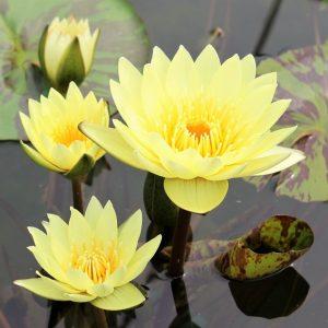 Carola s Sonshine waterlily