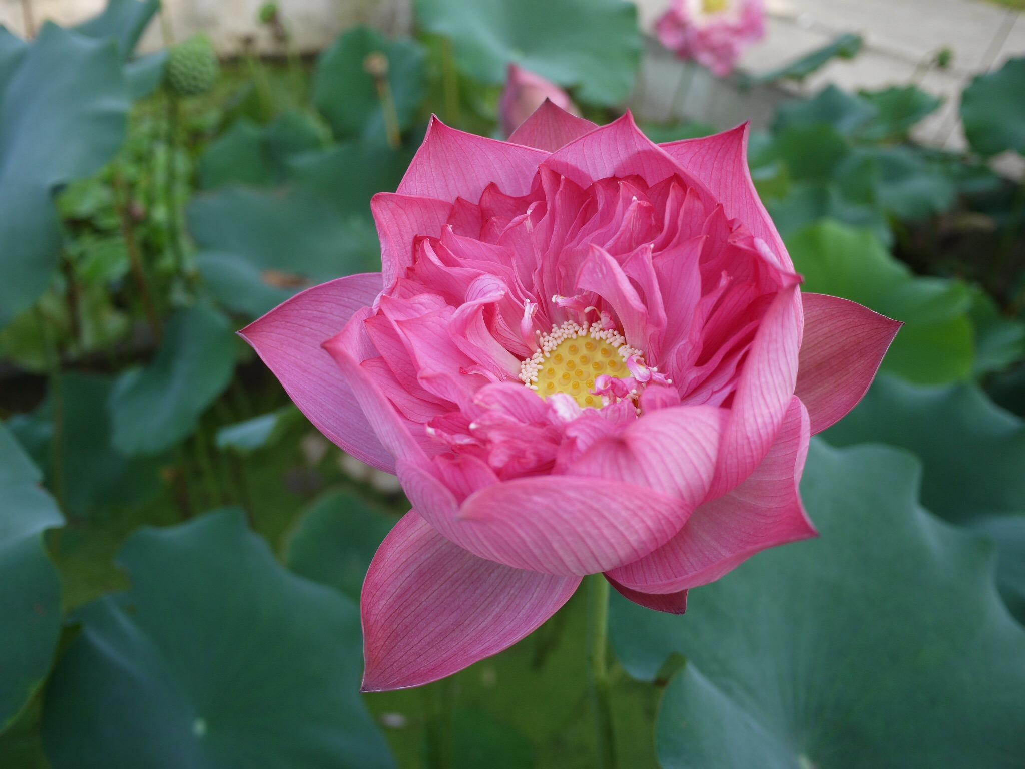 Introducing chinese red lotus bergen water gardens lotus paradise chinese red shaoshan lotus izmirmasajfo