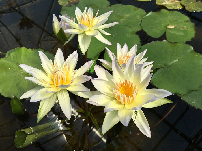 Moonbean Waterlily