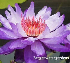 N. Betty Lou Waterlily