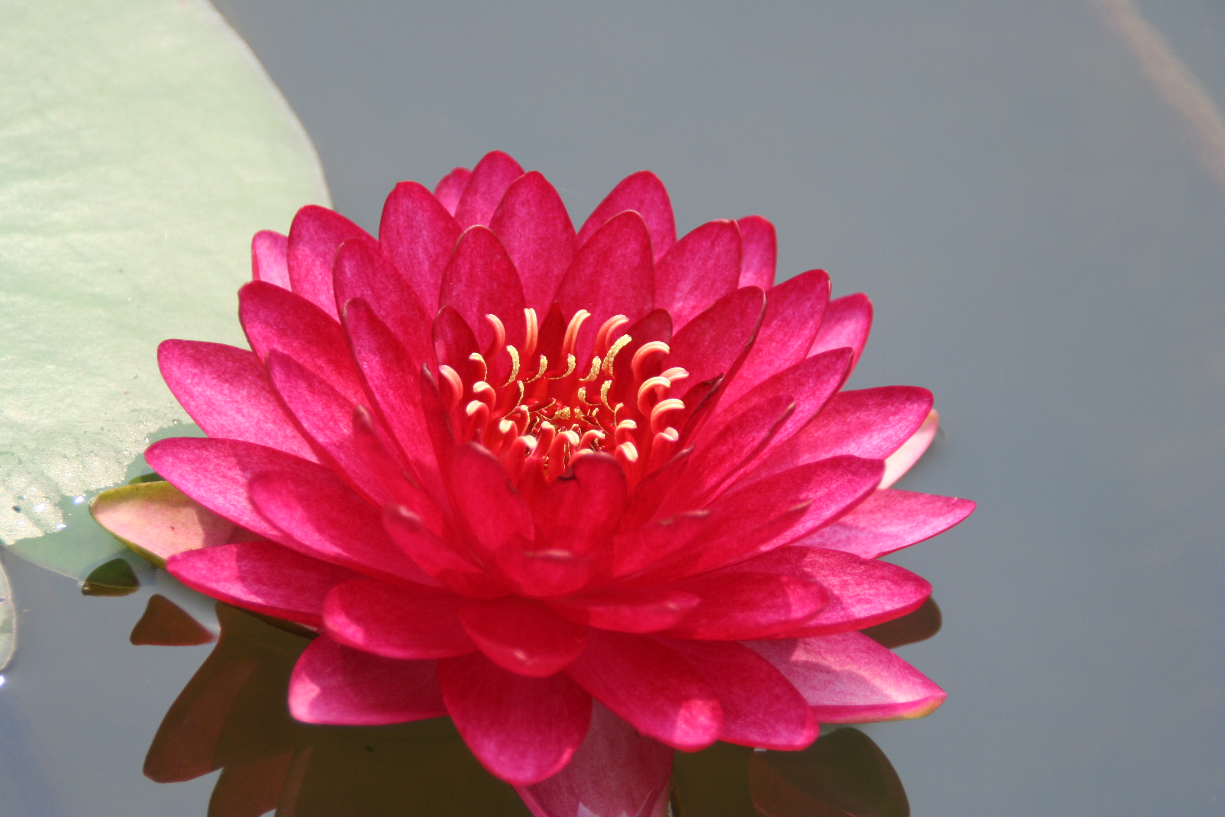 Nymphaea manee red bergen water gardens lotus paradise for Lotus plant for sale