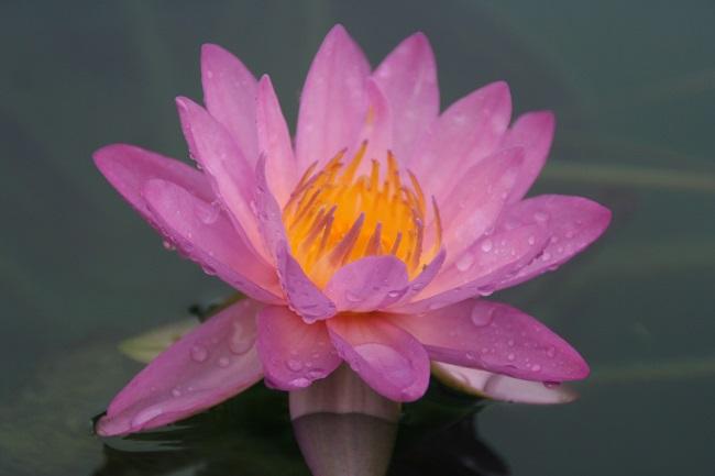 N. ' Siam Purple 2'