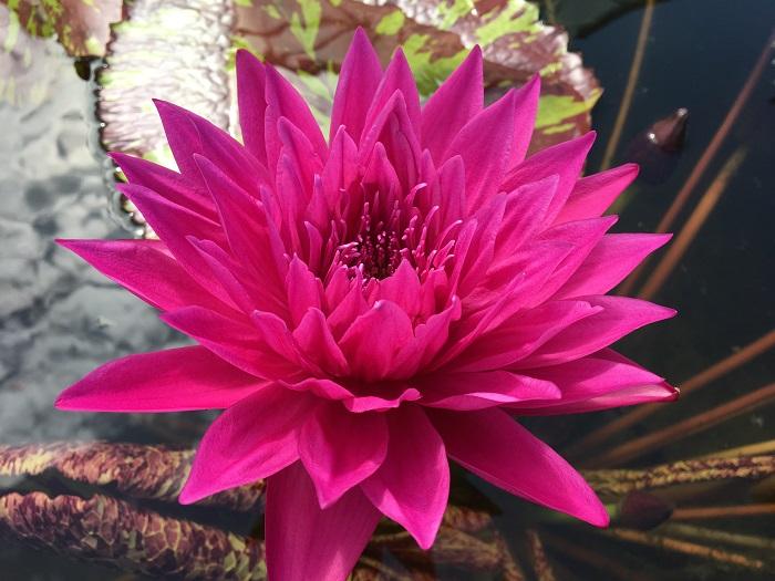 N. Valentine Waterlily
